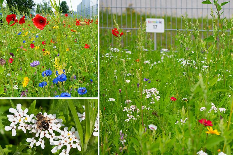 Die Wildbienenwiese bei der terminic GmbH steht in voller Blüte mit Mohnblumen, Kornblumen und einer Wildbiene auf einer Blüte